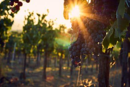 Sonnenuntergang im Weingarten