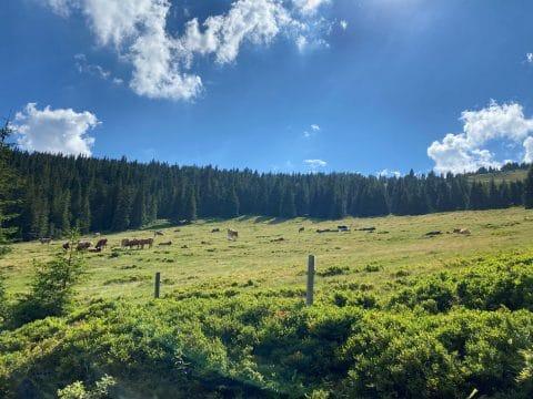 almwiese-mit-kuehen-wechselland