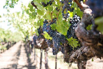 Weinreben mit Trauben im Blaufränkischland